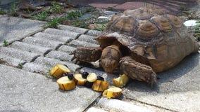 Sköldpadda för lunch Arkivbild