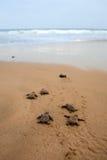 sköldpadda för uppkomstloggerheadhav Arkivbild