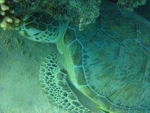 Sköldpadda i det djupa tropiska havet Arkivbild