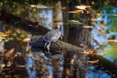 Sköldpadda som solbadar på journal Arkivfoto