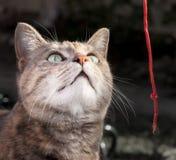 Sköldpadds- Tabby Cat Playing med röd rad Fotografering för Bildbyråer