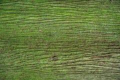Skället av trädet sörjer dolt med grön mossa Arkivfoton
