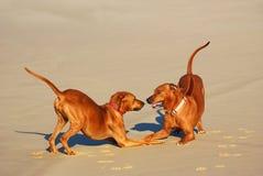 Skämtsam hundkapplöpning Royaltyfri Foto