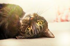 Skämtsam katt, härligt hemhusdjur Royaltyfria Bilder