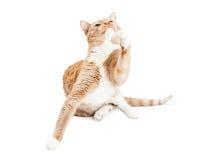 Skämtsam vuxen människa Cat Raising Paw Looking Up Arkivfoto