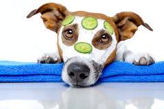 skönhethund Fotografering för Bildbyråer