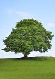 skönhetsycamoretree Arkivbild