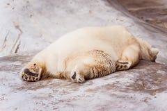 Skołowany biały niedźwiedź kłama na kamieniu fotografia royalty free