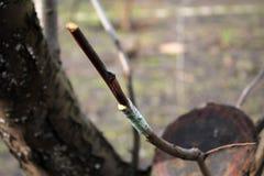 Skończony przeszczepia owocowy drzewo w rozpadlinie używać rozcięcie zbliżenie fotografia royalty free