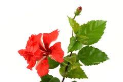 Sko blomman, hibiskusen, kines steg på vit bakgrund royaltyfria bilder