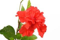Sko blomman, hibiskusen, kines steg på vit bakgrund arkivbild