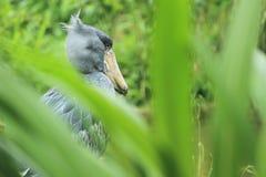Sko-fakturerad stork Royaltyfri Bild