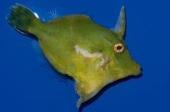 Skołtuniony Filefish Zdjęcia Royalty Free