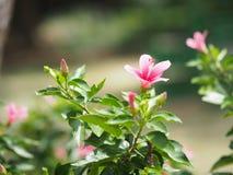 Skoblomman, hibiskusen, kines steg royaltyfri fotografi