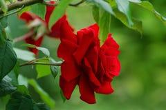 Skoczny czerwony aksamit wzrastał w lato ogródzie obrazy royalty free