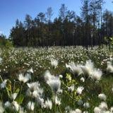 Skogäng med cottongrass Royaltyfri Foto