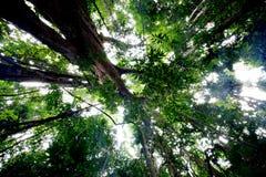 Skog 500 år gammala trees Fotografering för Bildbyråer