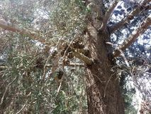 Skog av ayin för Rosh mummel` Arkivfoto