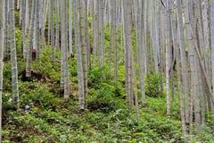 Skog av bambu Fotografering för Bildbyråer