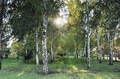 Skog av björkträd Royaltyfri Foto