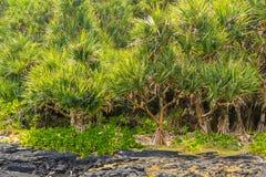 Skog av den gemensamma screwpinen (Pandanusutilis) och lavafältet Arkivfoton