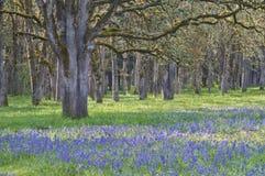Skog av gamla ekar med ängen av blommande blåa camas vildblommor Arkivbild