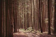 Skog av granar Royaltyfri Foto