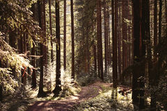 Skog av granar Royaltyfri Bild