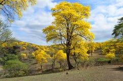 Skog av Guayacanes Arkivfoto