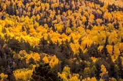 Skog av högväxta gula asp- träd Royaltyfri Fotografi