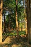 skog av högväxta träd Royaltyfri Bild