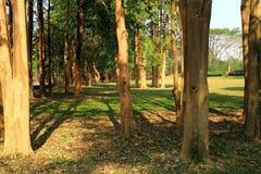skog av högväxta träd Royaltyfri Foto