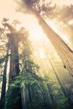 Skog av jättarna Fotografering för Bildbyråer