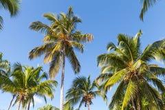 Skog av kokosnötpalmträd över bakgrund för blå himmel Royaltyfria Bilder