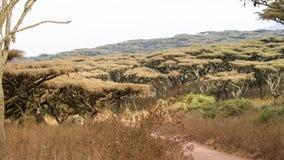 Skog av paraplyöverkantträd i Ngorongoro naturvårdsområde Arkivbild