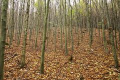 Skog av unga bokträdträd Royaltyfria Foton