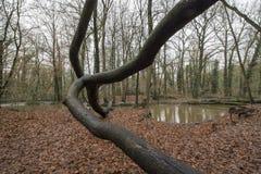 Skog Bekendellen i Winterswijk Nederländerna Arkivbild