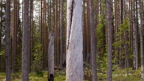 skog 2 Effekt för 5 D - flyttande träd stock video