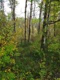 Skog för björkträd Fotografering för Bildbyråer
