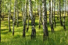 Skog för björkträd arkivfoton