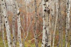 Skog för björkträd i höst i den Assiniboine skogen, Winnipeg, Manitoba arkivfoton