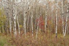 Skog för björkträd i höst i den Assiniboine skogen, Winnipeg, Manitoba arkivbilder