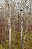Skog för björkträd i höst i den Assiniboine skogen, Winnipeg, Manitoba arkivfoto