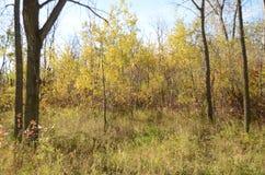 Skog för björkträd i höst i den Assiniboine skogen, Winnipeg, Manitoba royaltyfria foton