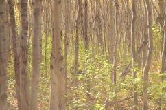 Skog för björkträd i höst i den Assiniboine skogen, Winnipeg, Manitoba royaltyfri bild