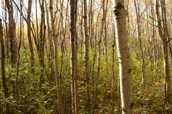 Skog för björkträd i höst i den Assiniboine skogen, Winnipeg, Manitoba royaltyfri fotografi