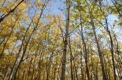 Skog för björkträd i höst i den Assiniboine skogen, Winnipeg, Manitoba royaltyfri foto