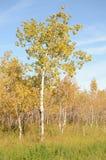 Skog för björkträd i höst i den Assiniboine skogen, Winnipeg, Manitoba royaltyfria bilder