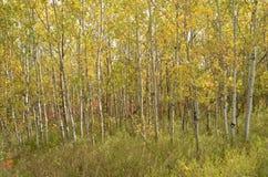 Skog för björkträd i höst i den Assiniboine skogen, Winnipeg, Manitoba arkivbild