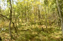 Skog för björkträd i höst i den Assiniboine skogen, Winnipeg, Manitoba fotografering för bildbyråer